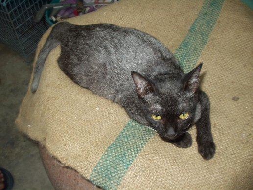Sam Sawet Cat: Sam Ssc Breed