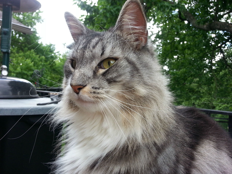 Sam Sawet Cat: Sam Swedish Forest Cat Breed