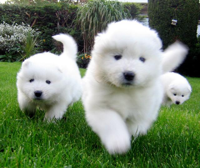 Samoyed Puppies: Samoyed Breed