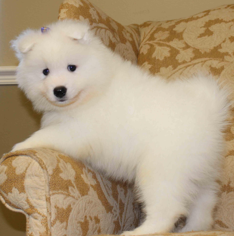 Samoyed Puppies: Samoyed Find Samoyed Puppies Breed