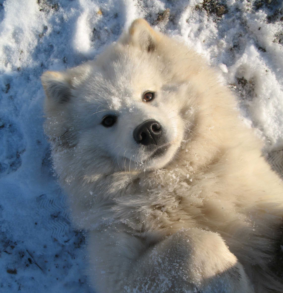 Samoyed Dog: Samoyed Lying Samoyed Dog Breed