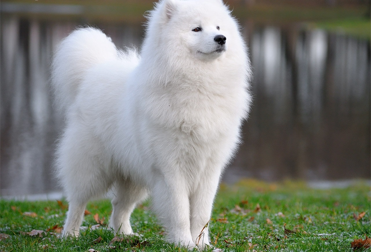 Samoyed Dog: Samoyed Majestic Samoyed Dog Breed