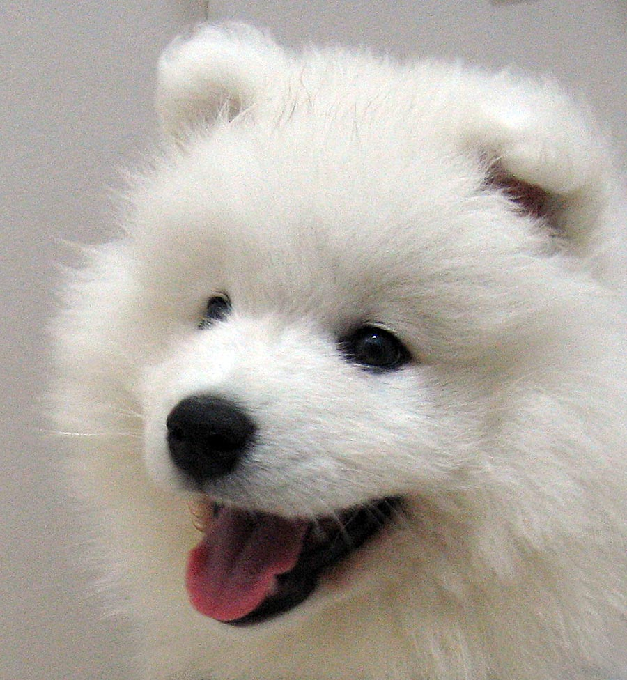 Samoyed Dog: Samoyed Nice Samoyed Dog Breed