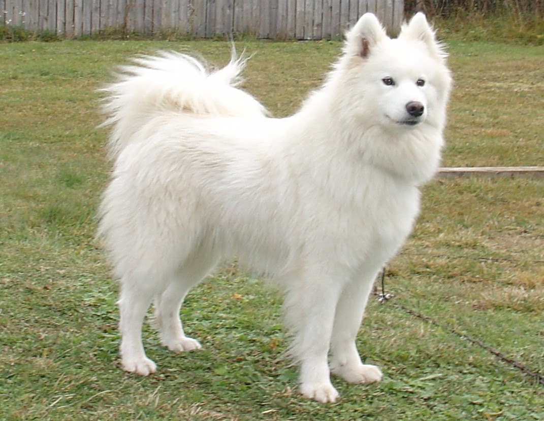 Samoyed Dog: Samoyed Samoyed Dog On The Grass Breed