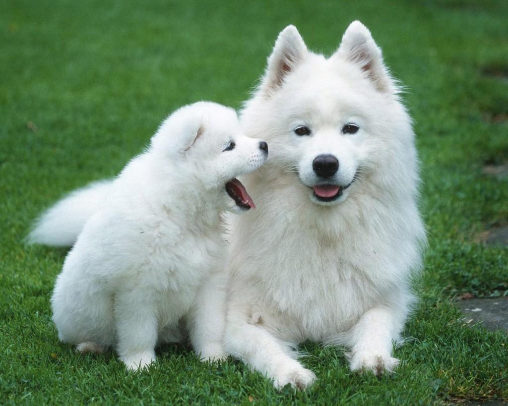 Samoyed Puppies: Samoyed Samoyed Dog Puppies Breed