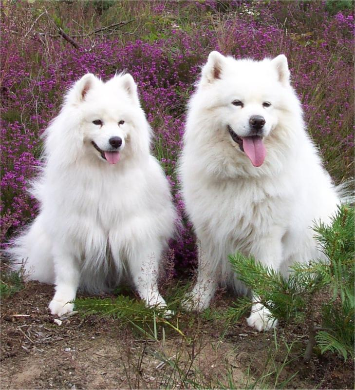 Samoyed Dog: Samoyed Samoyed Info Pictures Breed
