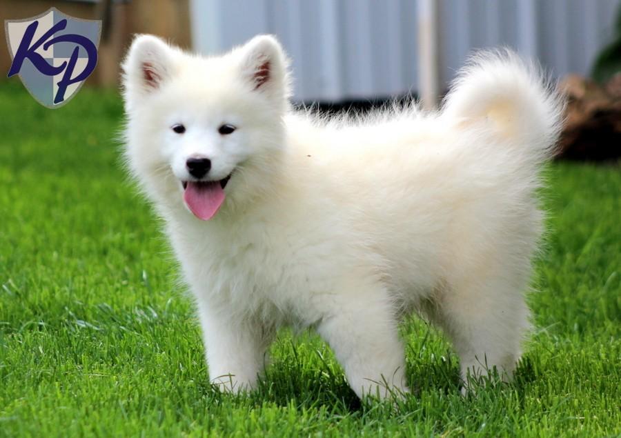 Samoyed Puppies: Samoyed Samoyed Mix Puppies Breed