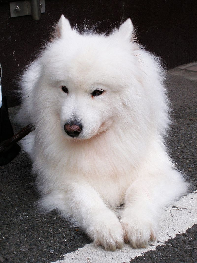 Samoyed Dog: Samoyed Samoyed Top Puppy Breed