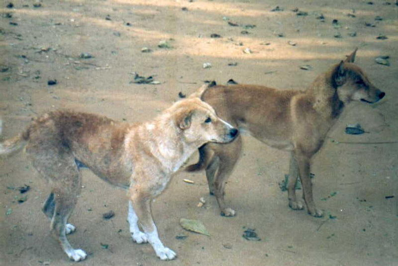 Santal Hound Dog: Santal Indus Breeds