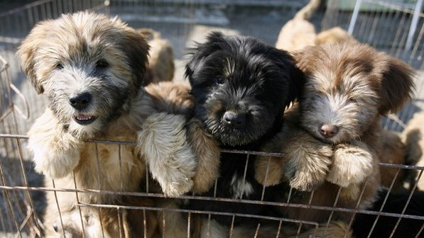 Sapsali Puppies: Sapsali Archive Breed