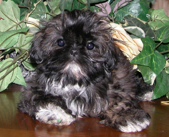 Sapsali Puppies: Sapsali Chinese Imperial Dog Breed