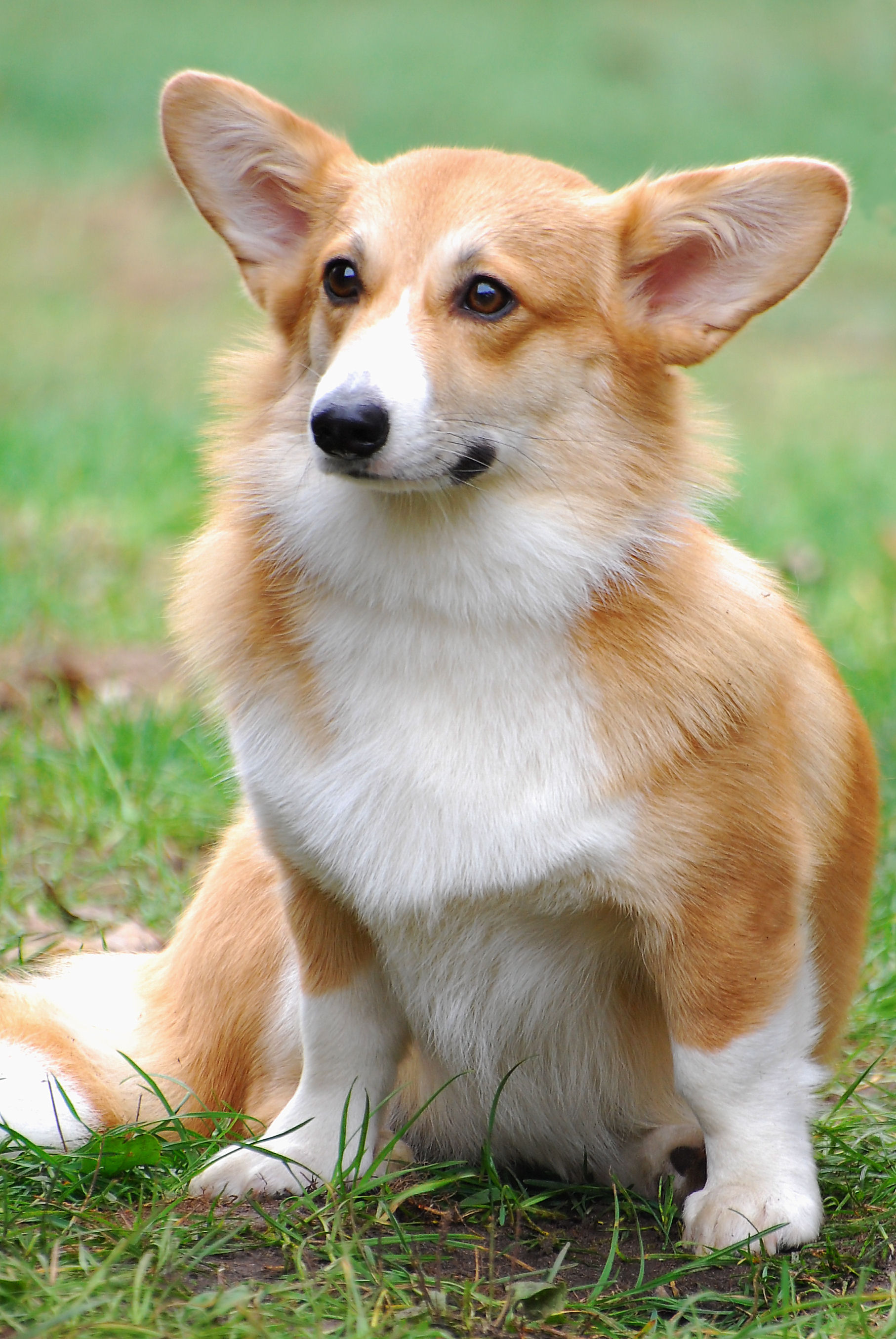 Sapsali Puppies: Sapsali Cute Welsh Corgi Pembroke Dog Breed