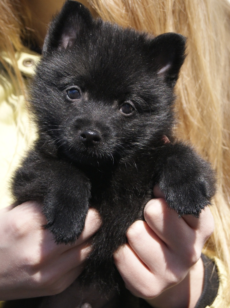 Sapsali Puppies: Sapsali Schipperke Puppy Breed