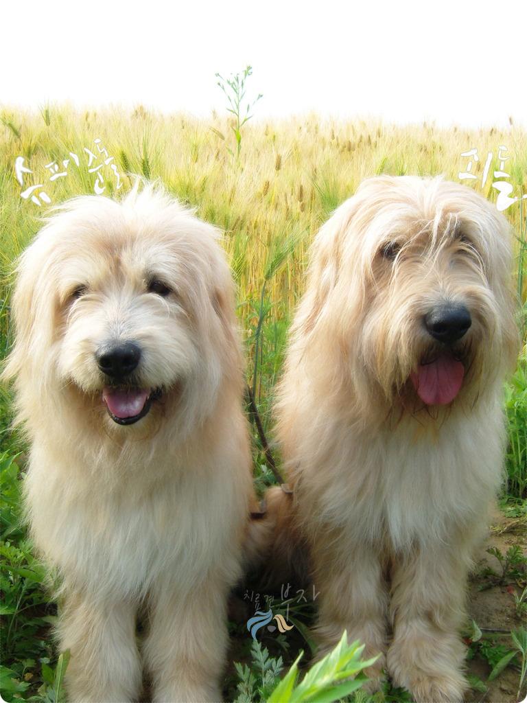 Sapsali Dog: Sapsali Two Sapsali Dogs Breed