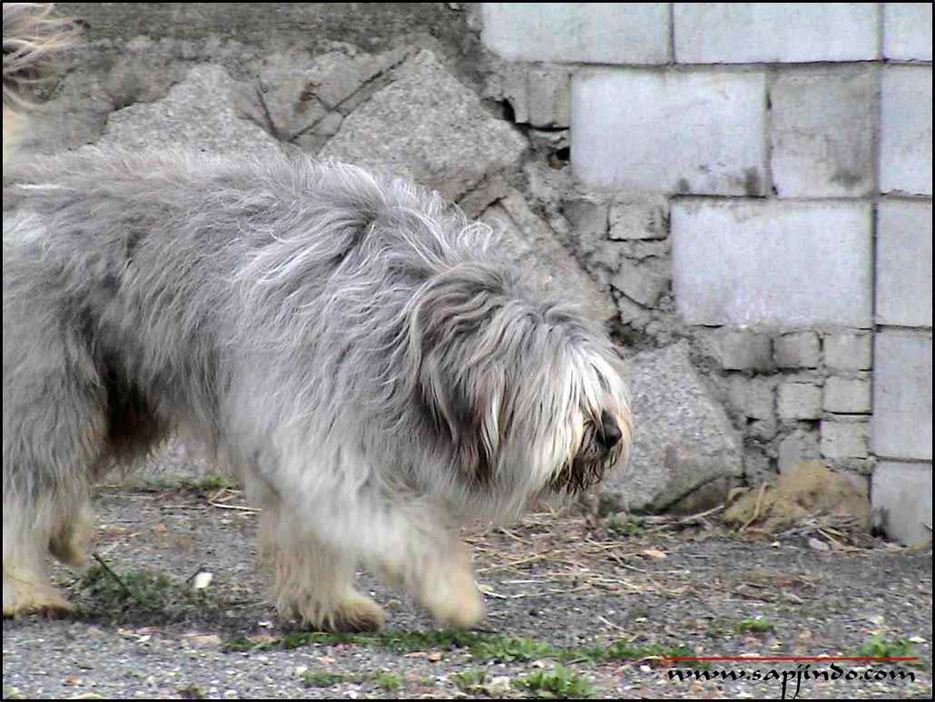 Sapsali Puppies: Sapsali Two Yorkshire Terrier Breed