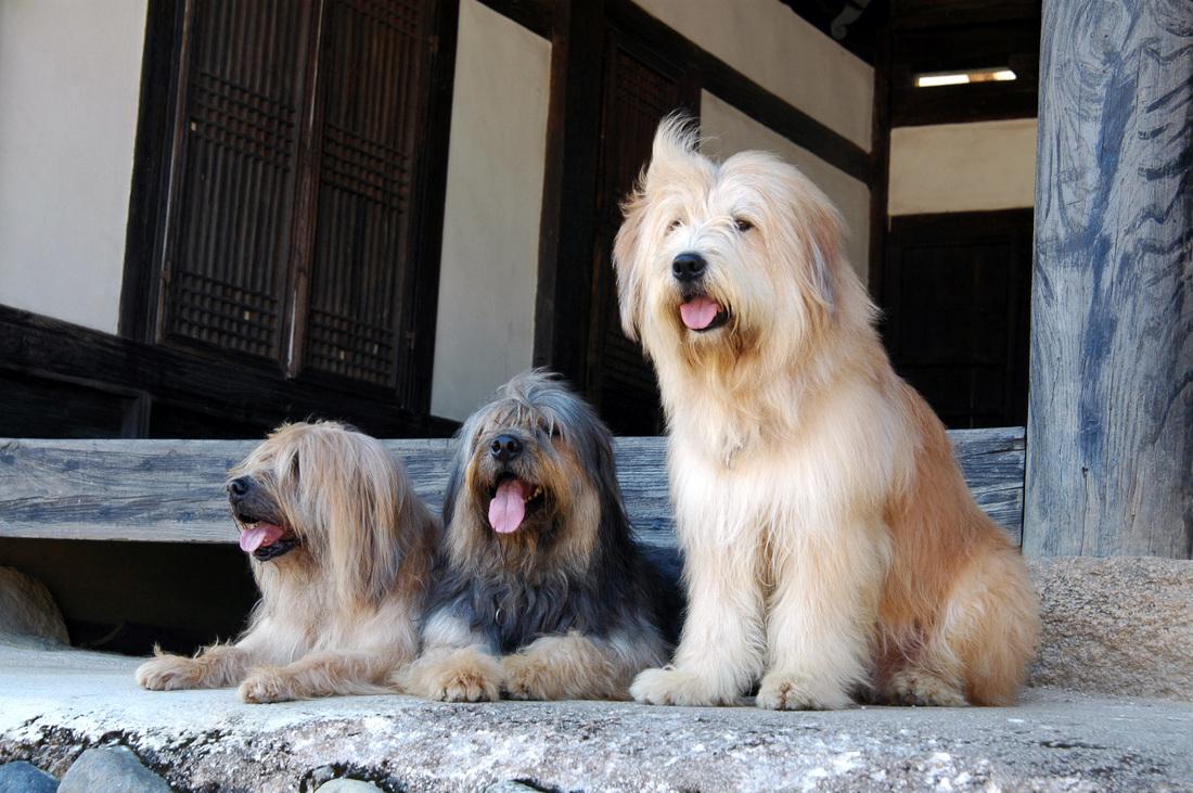 Sapsali Dog: Sapsali Watching Sapsali Dogs Breed
