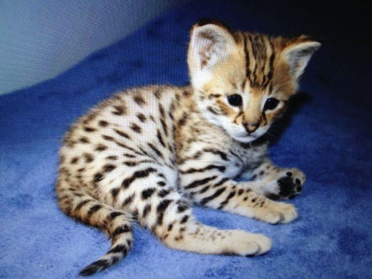 Savannah Kitten: Savannah Breed