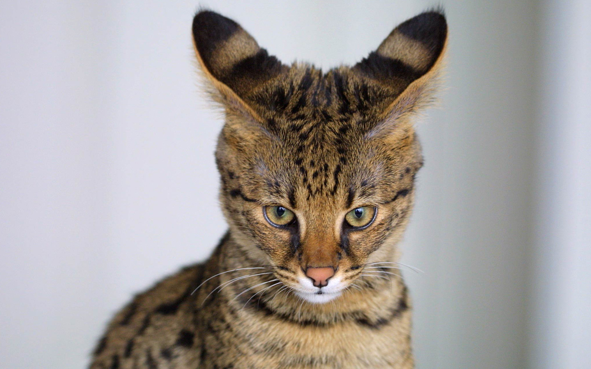 Savannah Cat: Savannah Cfywuywggyf Breed