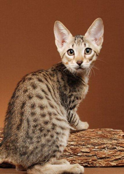 Savannah Kitten: Savannah F Dempsey Breed