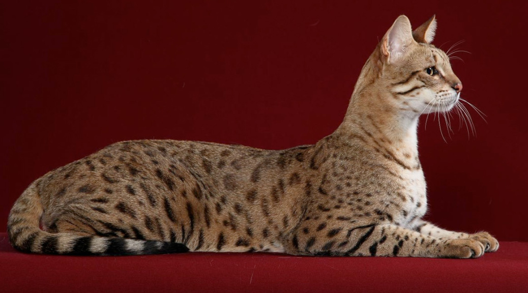 Savannah Cat: Savannah Savannah Breed