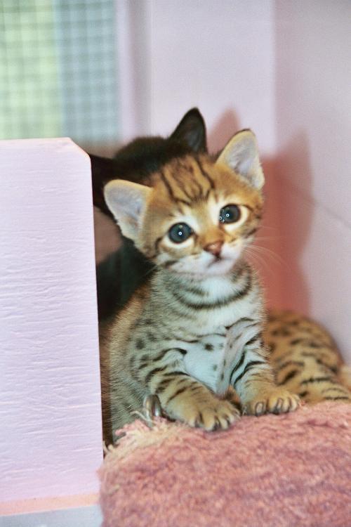 Savannah Kitten: Savannah Savannah Cat And Kittens Breed