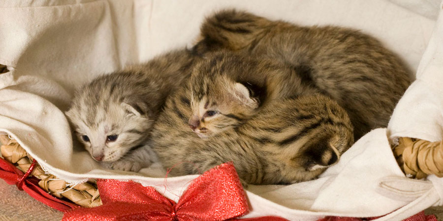 Savannah Kitten: Savannah Savannah Cat Breed