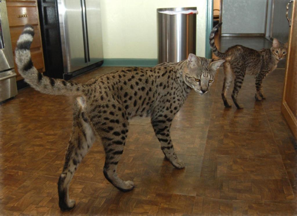 Savannah Cat: Savannah Savannah Cats S Breed