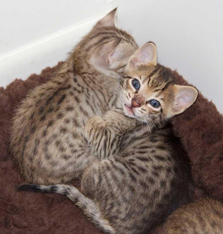 Savannah Kitten: Savannah Savannah Kitten Perseus F Sbt Breed