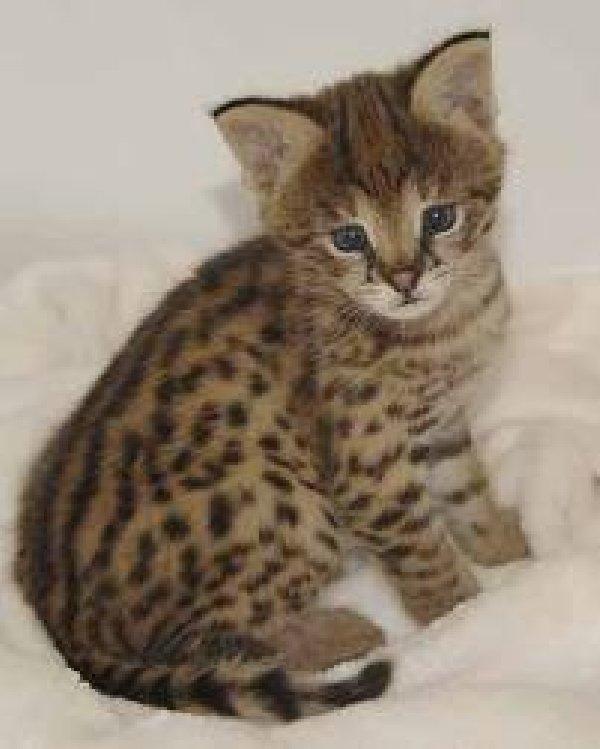 Savannah Kitten: Savannah Savannah Kittens Breed
