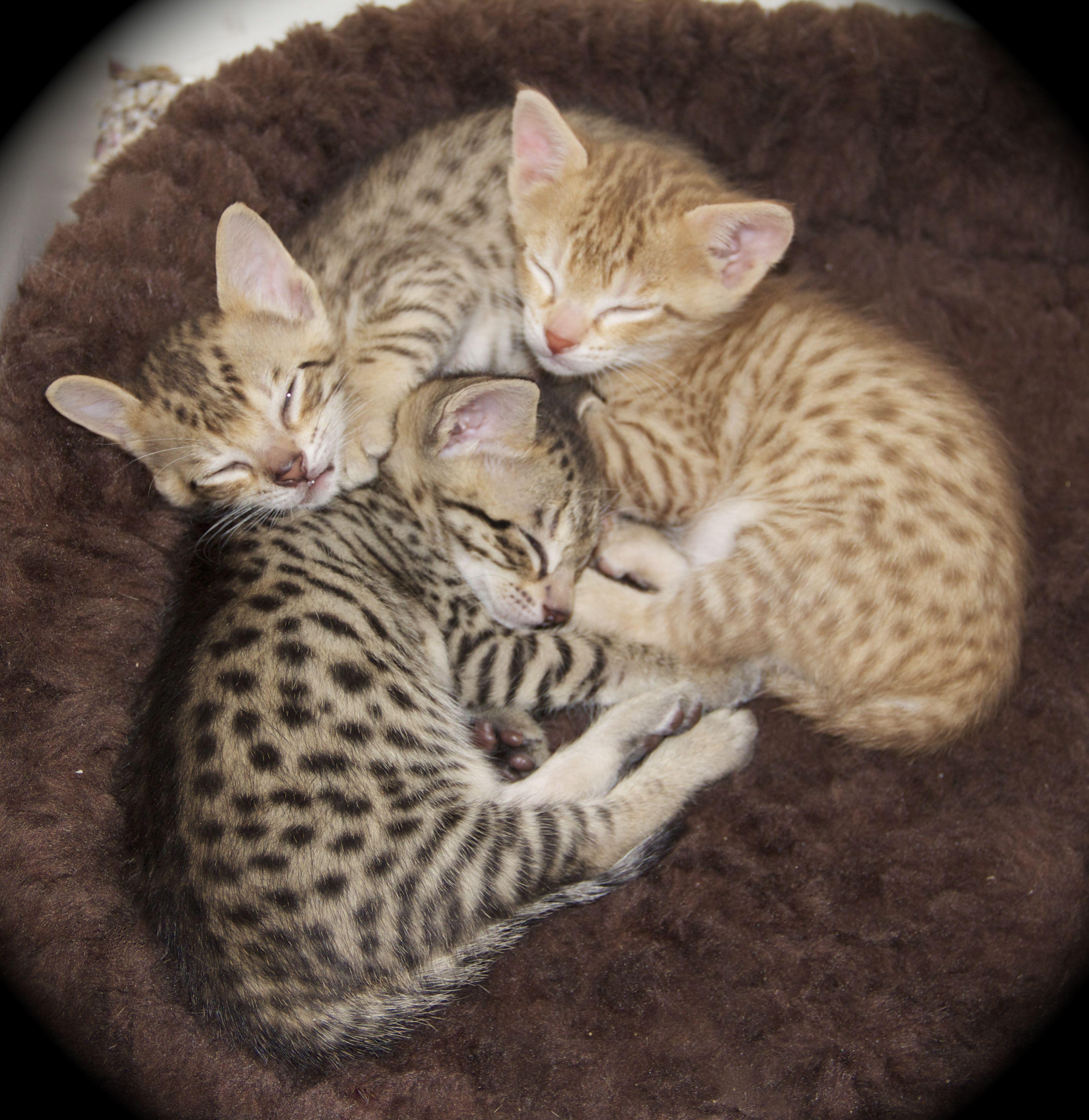 Savannah Kitten: Savannah Savannah Kittens F Sbt Breed