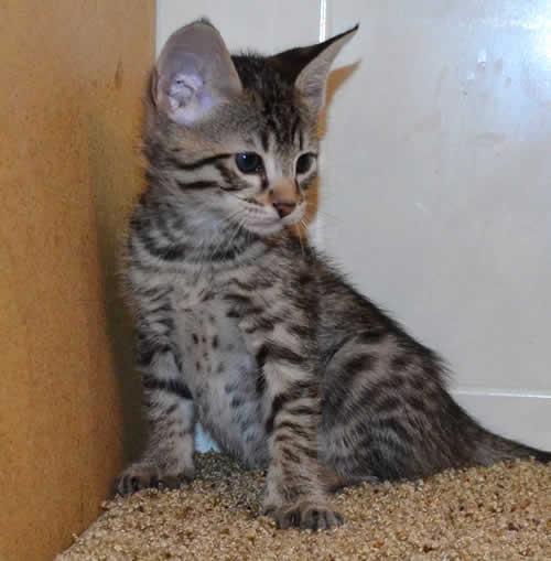 Savannah Kitten: Savannah Savannah Kittens Verma Breed