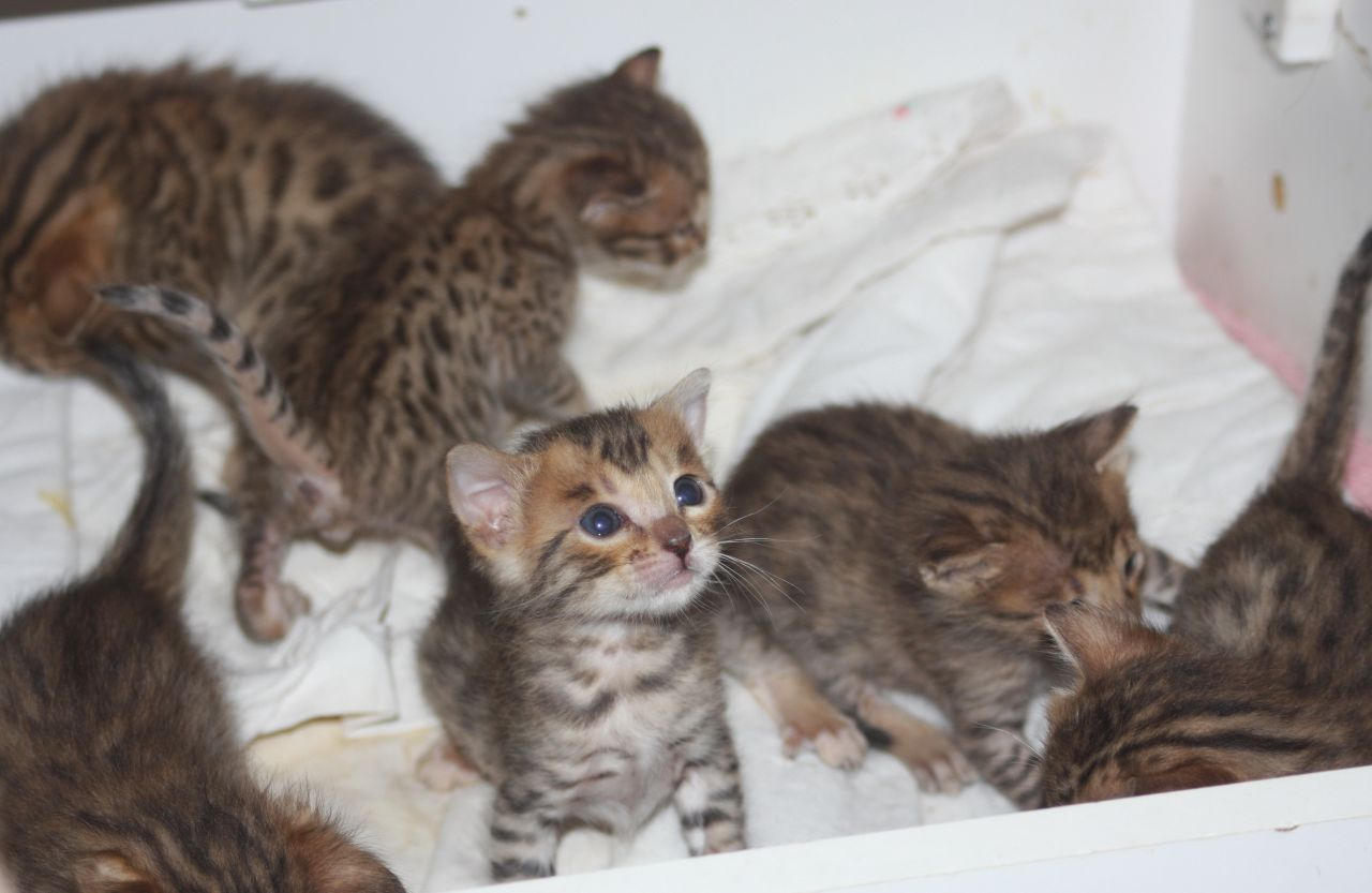 Savannah Kitten: Savannah Serval Savannah And Bengal Kittens For Sale By Breeder Picture