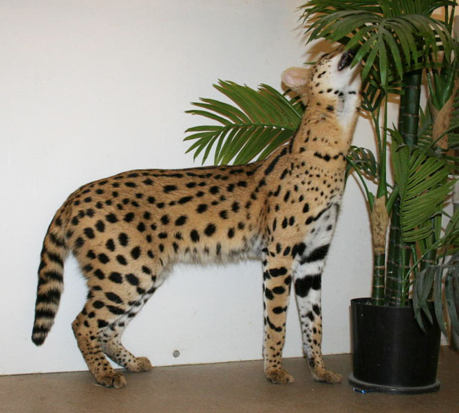 Savannah Cat: Savannah Serval Studs Breed