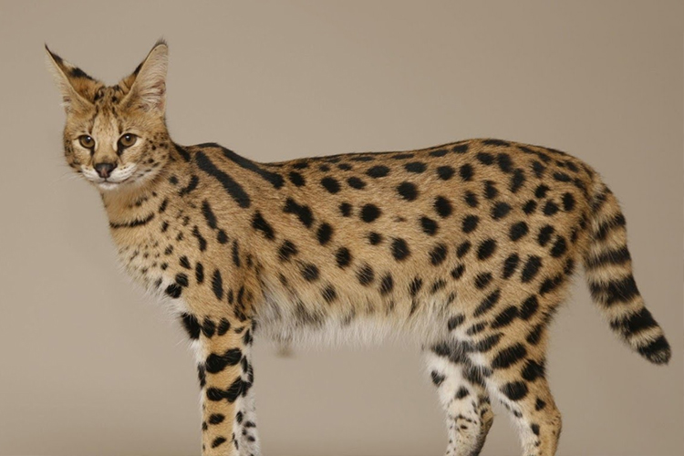 Savannah Cat: Savannah Training A Puppy Not To Jump On Breed