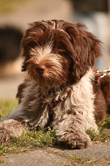 Schapendoes Dog: Schapendoes Breed