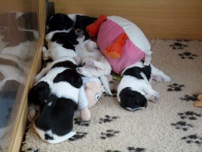 Schapendoes Puppies: Schapendoes Hasse Nest Breed