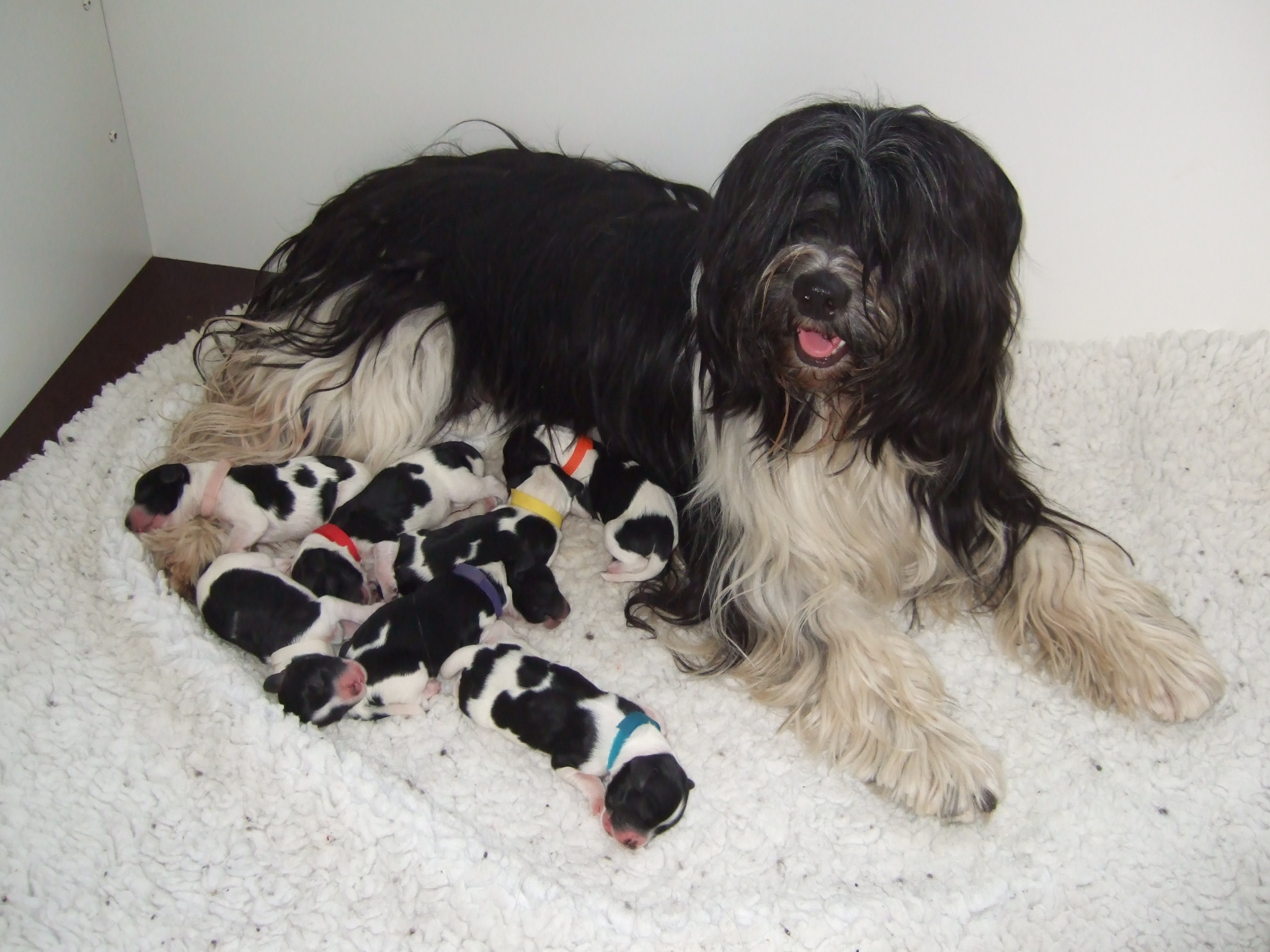 Schapendoes Dog: Schapendoes Schapenddoes Dog With Pups Breed