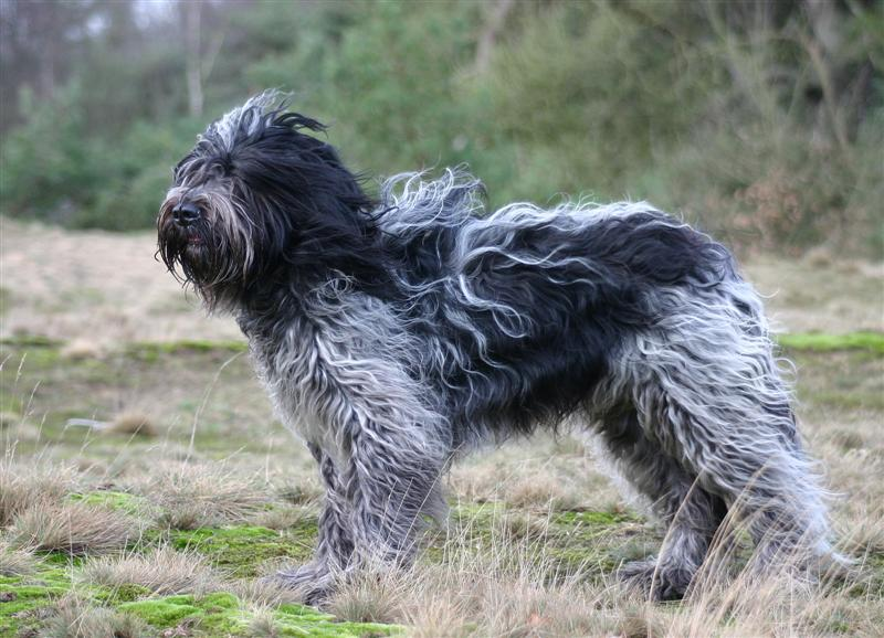 Schapendoes Dog: Schapendoes Schapendoes Breed
