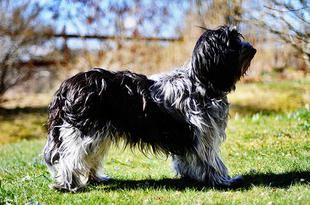Schapendoes Dog: Schapendoes Schapendoes Dog Breed