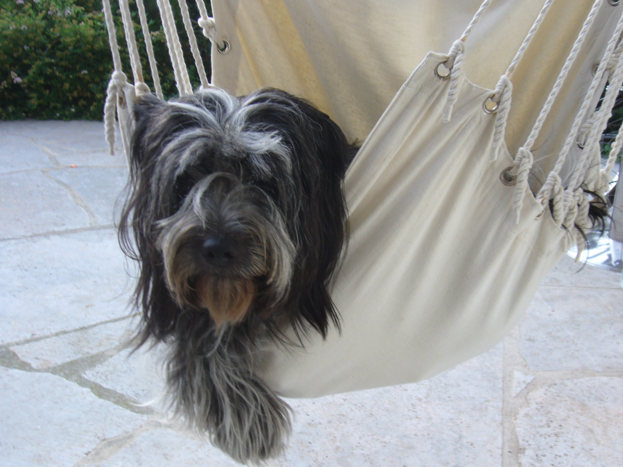 Schapendoes Dog: Schapendoes Schapendoes Dog In A Hammock Breed