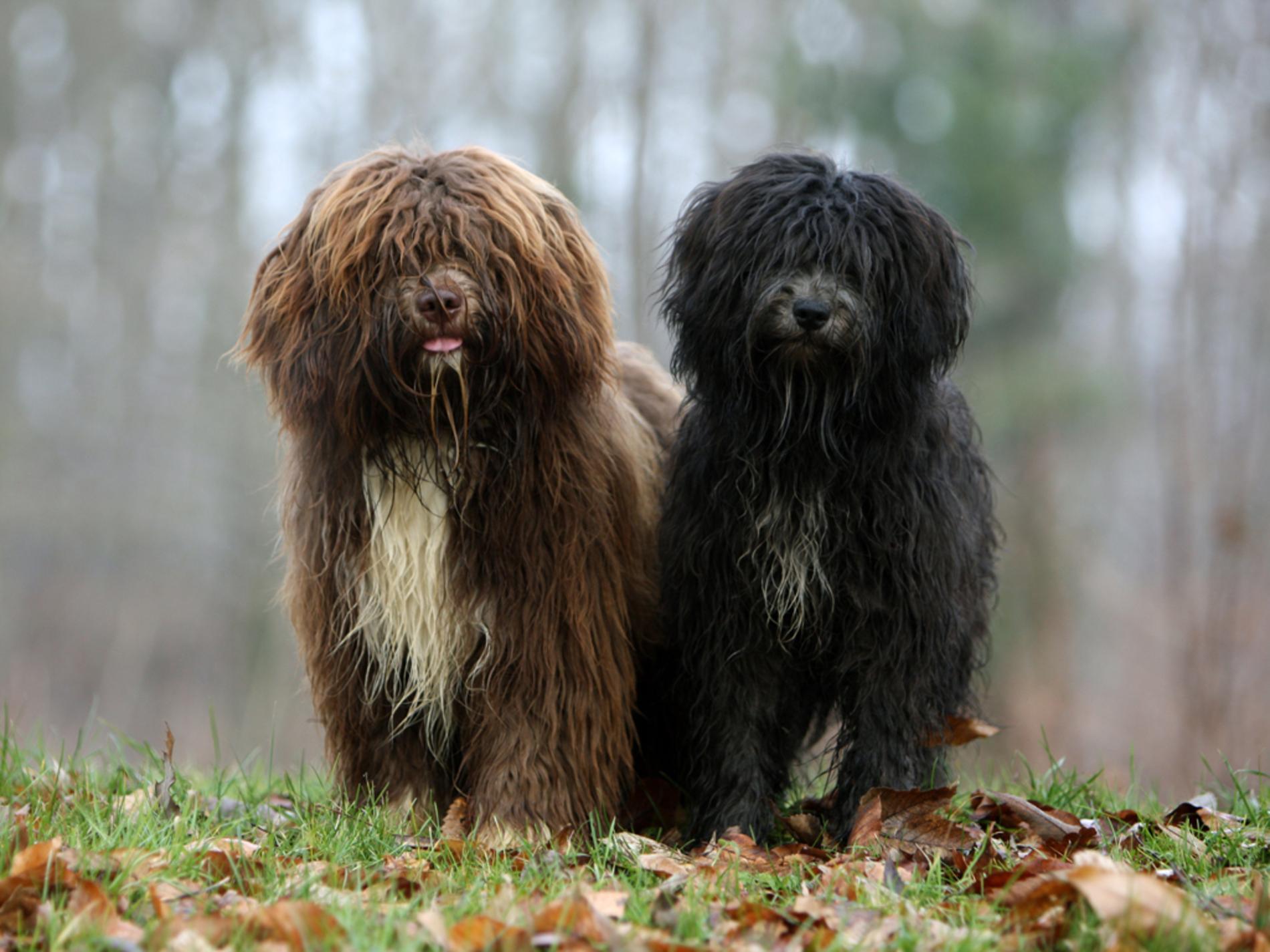 Schapendoes Puppies: Schapendoes Schapendoes Puppies Breed