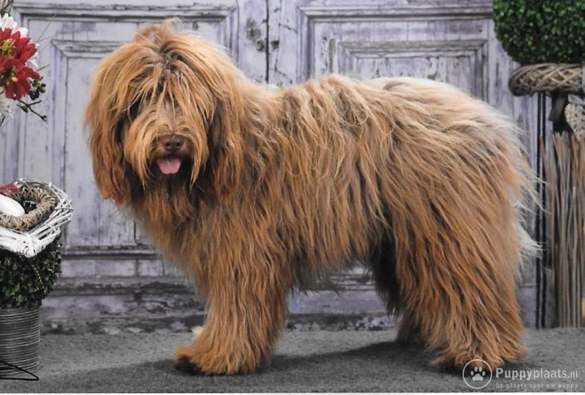 Schapendoes Puppies: Schapendoes Schapendoes Pups Breed