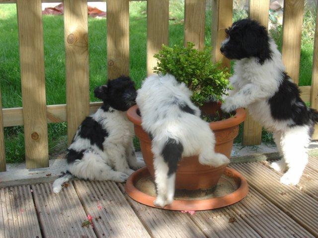 Schapendoes Puppies: Schapendoes Schapendoespuppies Breed
