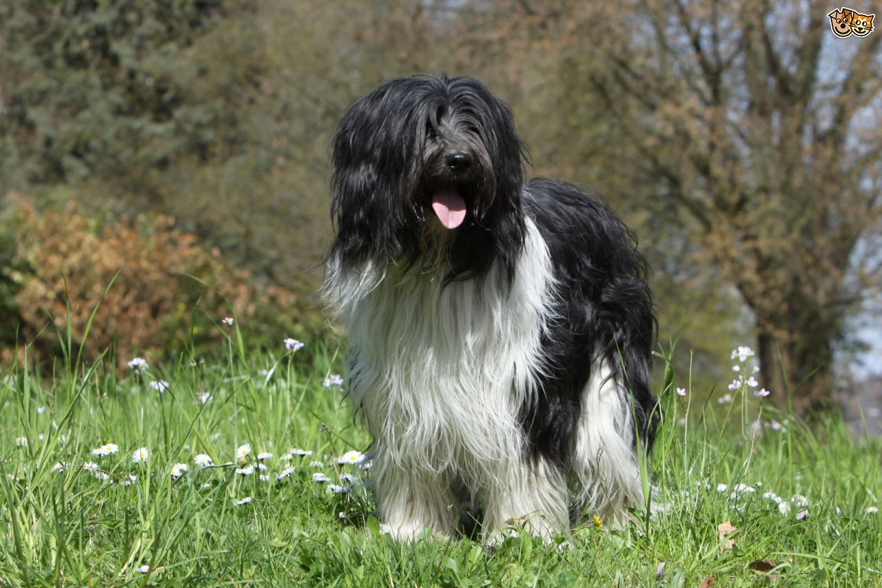 Schapendoes Dog: Schapendoes The Schapendoes The Lovely Dutch Sheepdog Breed
