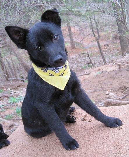 Schipperke Puppies: Schipperke And Cats Breed Schipperke Dogs S Funny Puppies