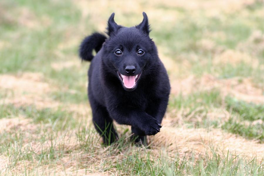 Schipperke Puppies: Schipperke Breed