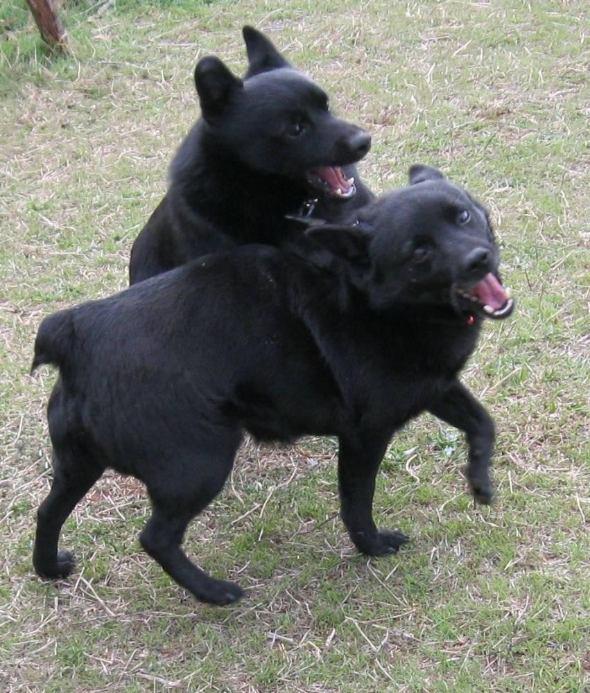 Schipperke Dog: Schipperke Playing Schipperke Dogs Breed