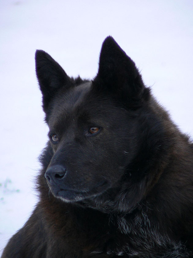 Schipperke Dog: Schipperke Schipperke Dog Breed