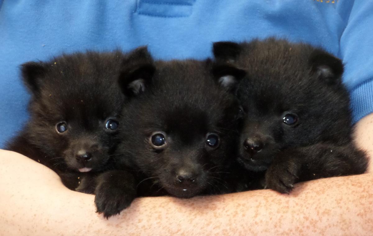 Schipperke Puppies Puppy Dog Gallery