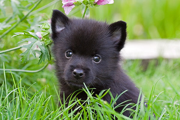 Schipperke Puppies: Schipperke Schipperke Puppies Pictures Breed